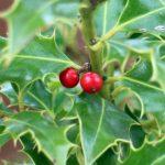 Agrifoglio (Ilex Aquifolium)