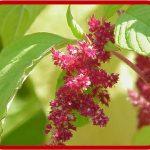Amaranto tricolore
