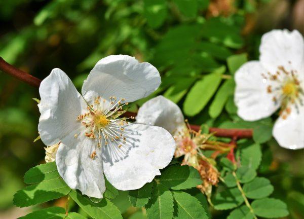 Cosa fiorisce ad aprile? Anemone