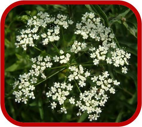 Anice consigli coltivazione e cura for Fiori piccoli bianchi
