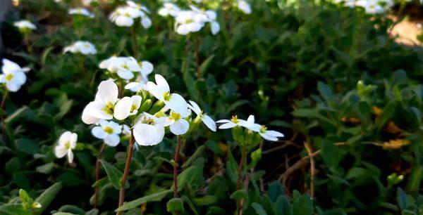 Cosa fiorisce ad aprile? Arabis