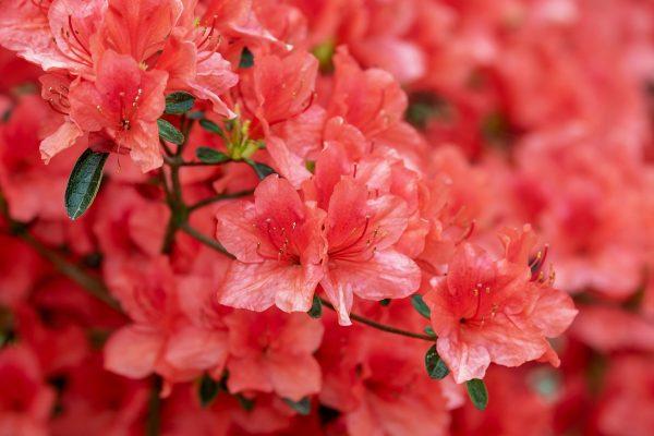 Cosa fiorisce ad aprile? Azalea