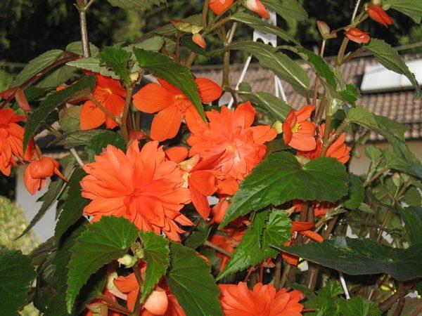 coltivazione begonia pendula