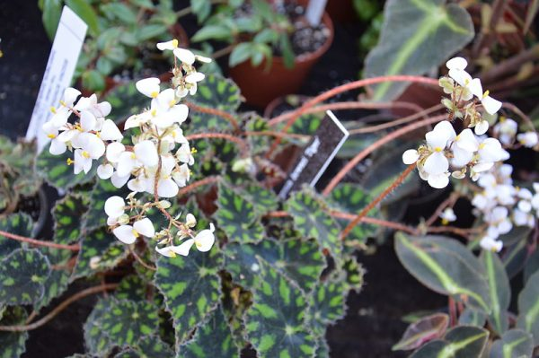 coltivazione begonia boweri