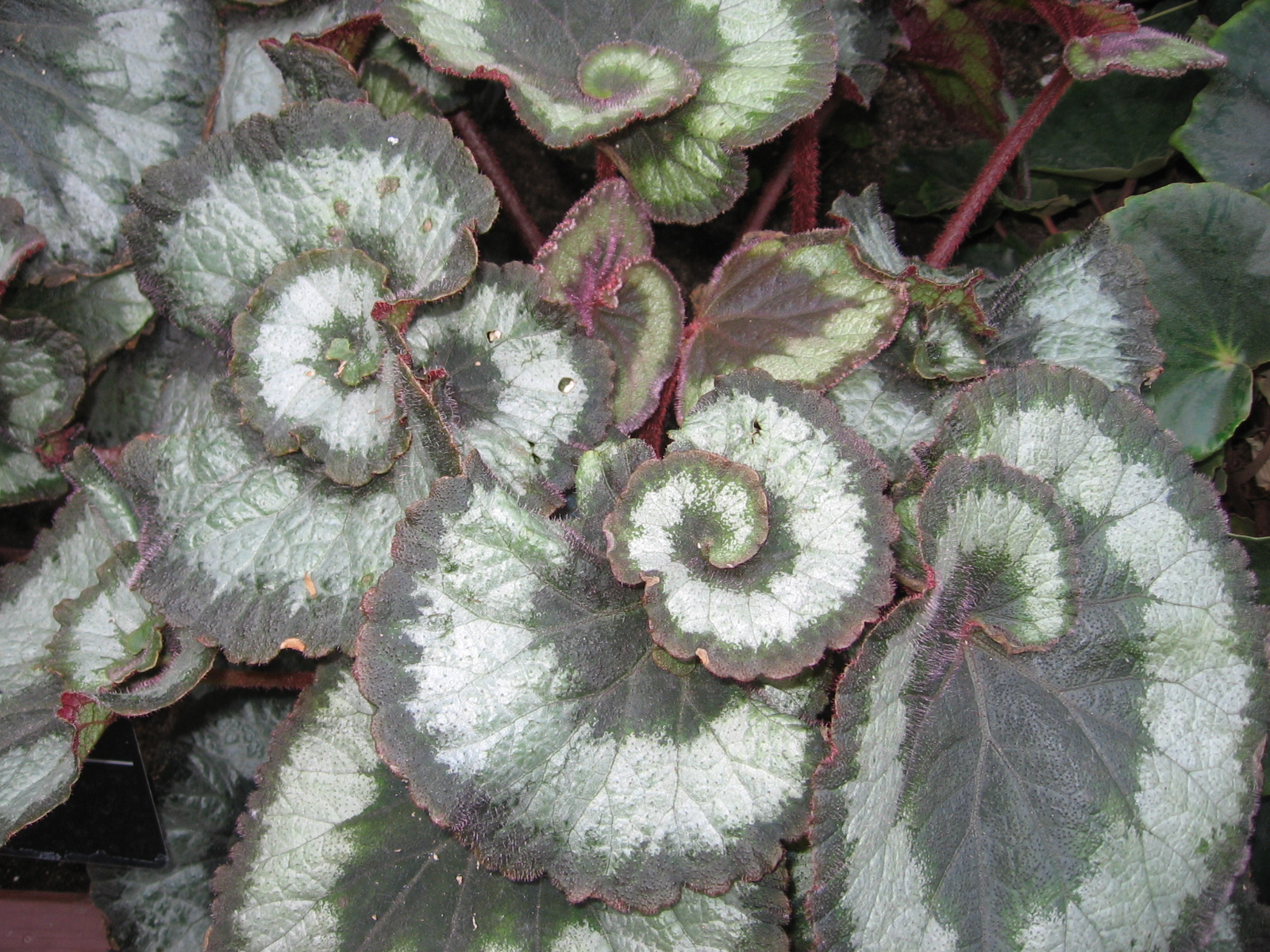 Begonia consigli coltivazione e cura for Begonia pianta