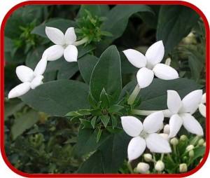 Bouvardia consigli coltivazione e cura for Fiori piccoli bianchi