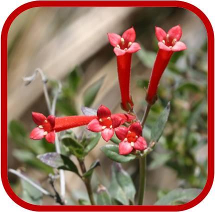 Bouvardia terniflora