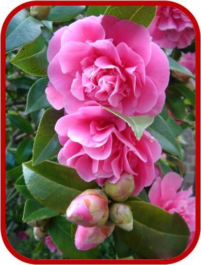 Camellia camelia consigli coltivazione e cura for Pianta camelia