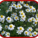 Anthemis maritima (Camomilla marittima)