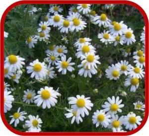 Piante da pieno sole for Fiori perenni pieno sole