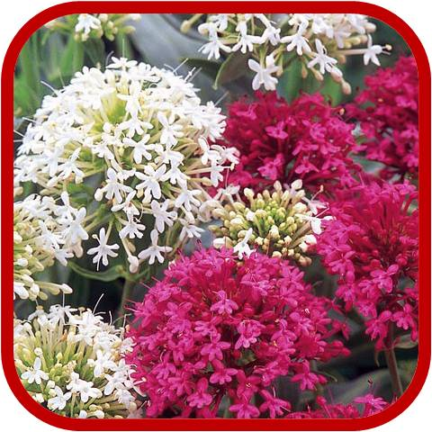 Centranthus ruber consigli coltivazione e cura - Fiori da giardino estivi ...