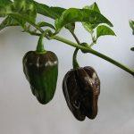 Habanero Peperoncino