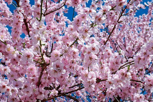 Cosa fiorisce ad aprile? Ciliegio