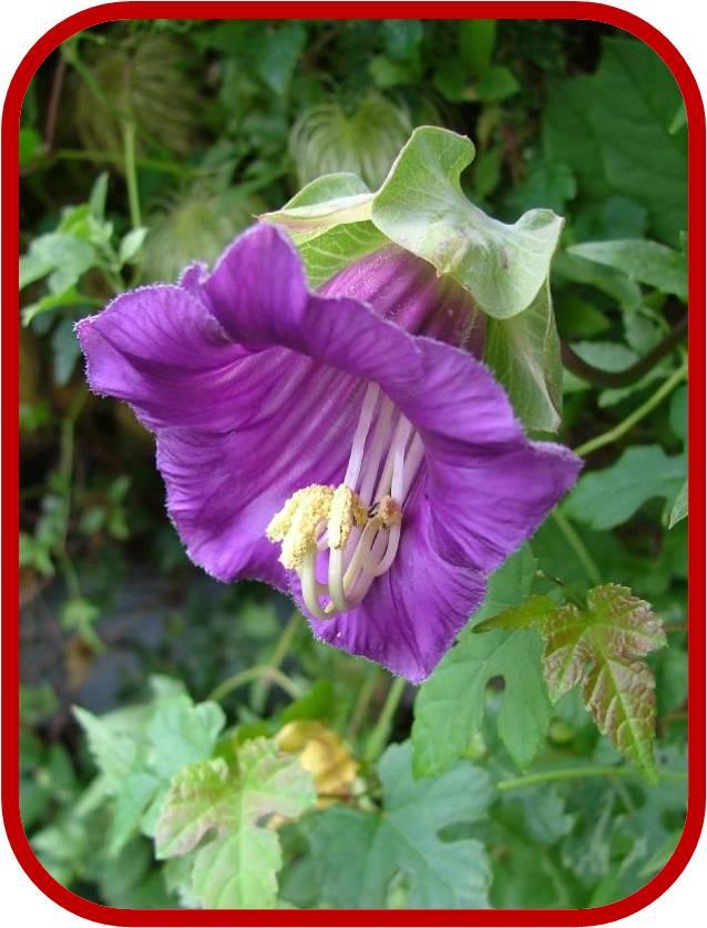 Cobaea scandens cobea consigli coltivazione e cura for Pianta fiori viola