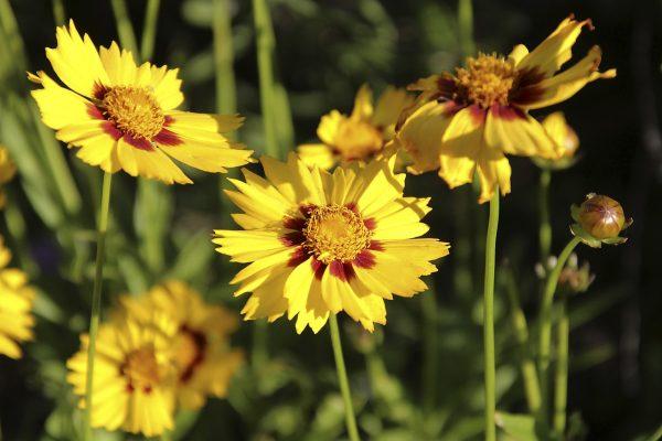 Cosa fiorisce a Settembre? Coreopsis