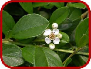 Piante con fiori bianchi for Fiori piccoli bianchi