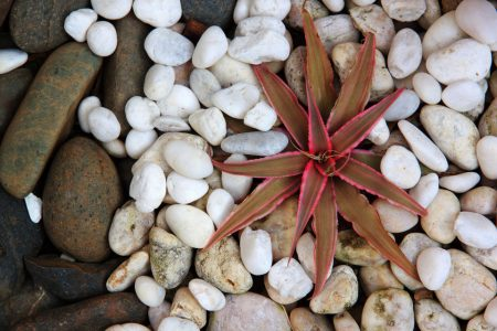 cryptanthus on rock