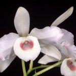 Dendrobium o Orchidea Bambù