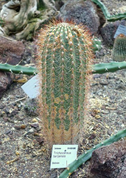 cactus tarijensis