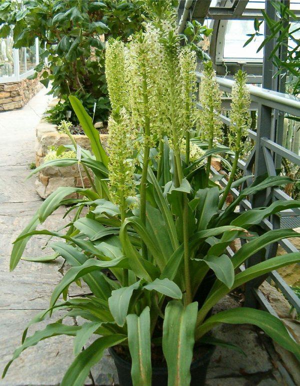 coltivazione eucomis pallidiflora