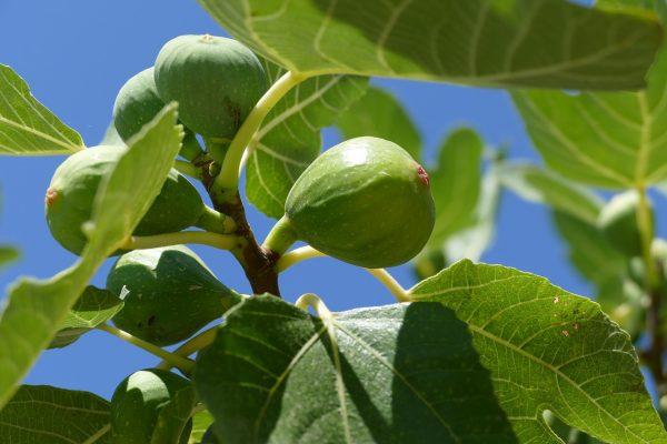 Piante mediterranee da Giardino: Fico