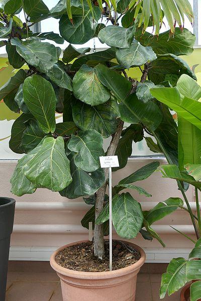coltivazione in vaso ficus lyrata