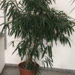 Ficus Maclellandii Alii (o Ficus Binnendijkii)