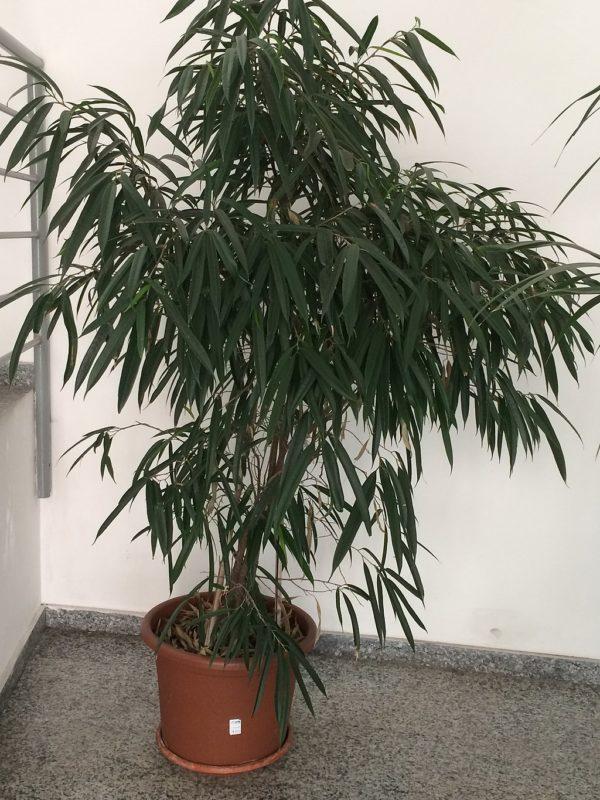 Ficus maclellandii alii in vaso