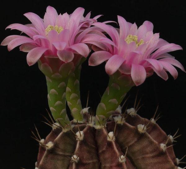 cactus gymnocalycium stenopleurum