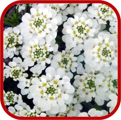 Iberide perenne consigli coltivazione e cura for Sempreverde con fiori bianchi e profumati