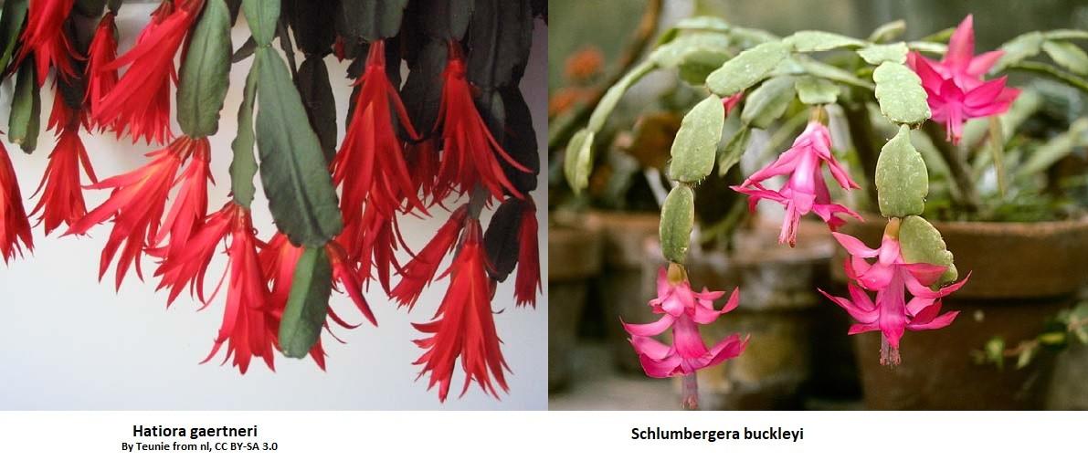 Differenza tra Hatiora gaertneri e Schlumbergera Buckleyi