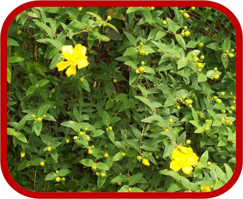 Iperico arbustivo consigli coltivazione e cura for Cespugli perenni