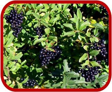 Frutti del Ligustro