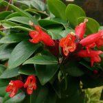 Aeschynanthus (Eschinanto o Escinanto)