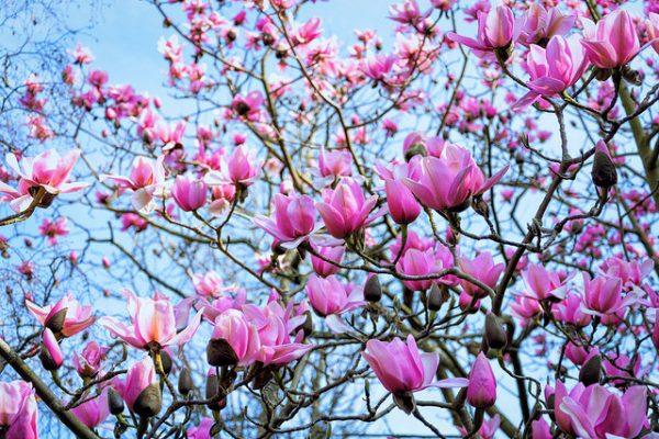 Magnolia campbelli
