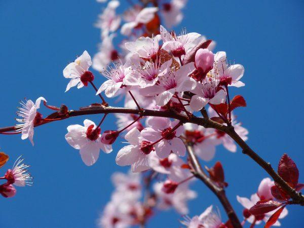 Cosa fiorisce ad aprile? Mandorlo
