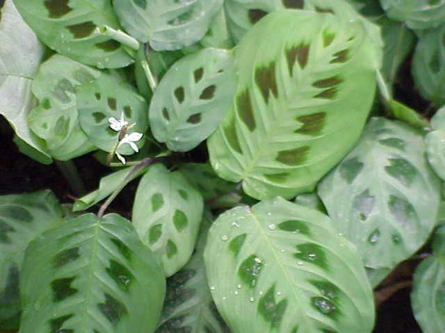 Maranta consigli coltivazione e cura for Maranta pianta