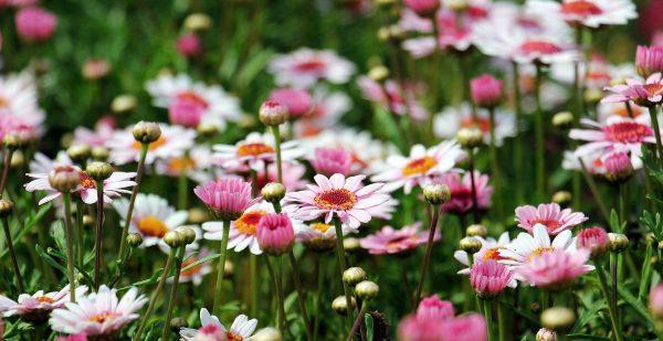 Cosa fiorisce ad aprile? Margherita