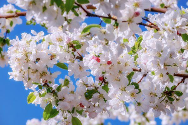 Cosa fiorisce ad aprile? Melo ornamentale