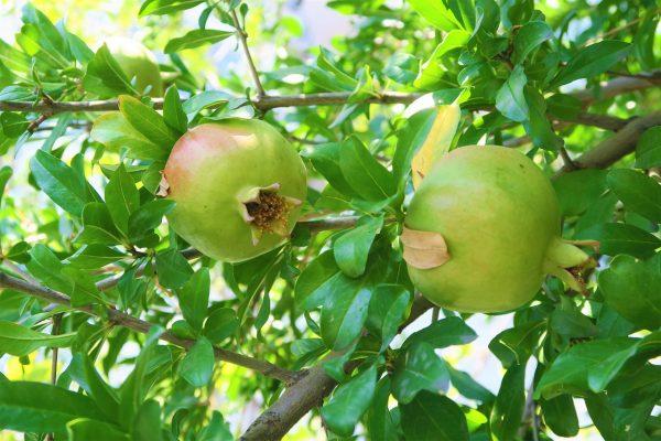 Piante mediterranee da giardino: Melograno