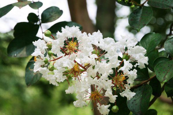 Piante mediterranee da giardino: Mirto