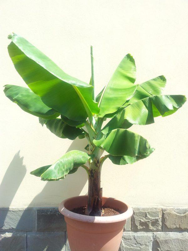 Banano nano musa consigli coltivazione e cura - Pianta banano ...