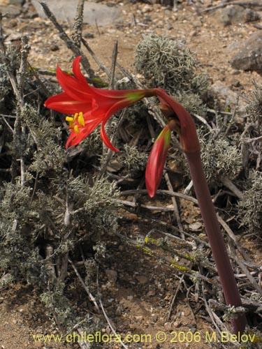 Rhodophiala phycelloides