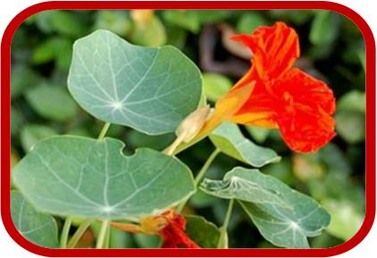 Nasturzio consigli coltivazione e cura for Piante da comprare