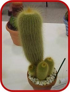 Notocactus - leninghausii