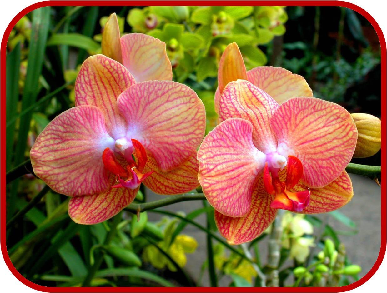 Orchidea consigli coltivazione e cura for Piante classificazioni inferiori successive