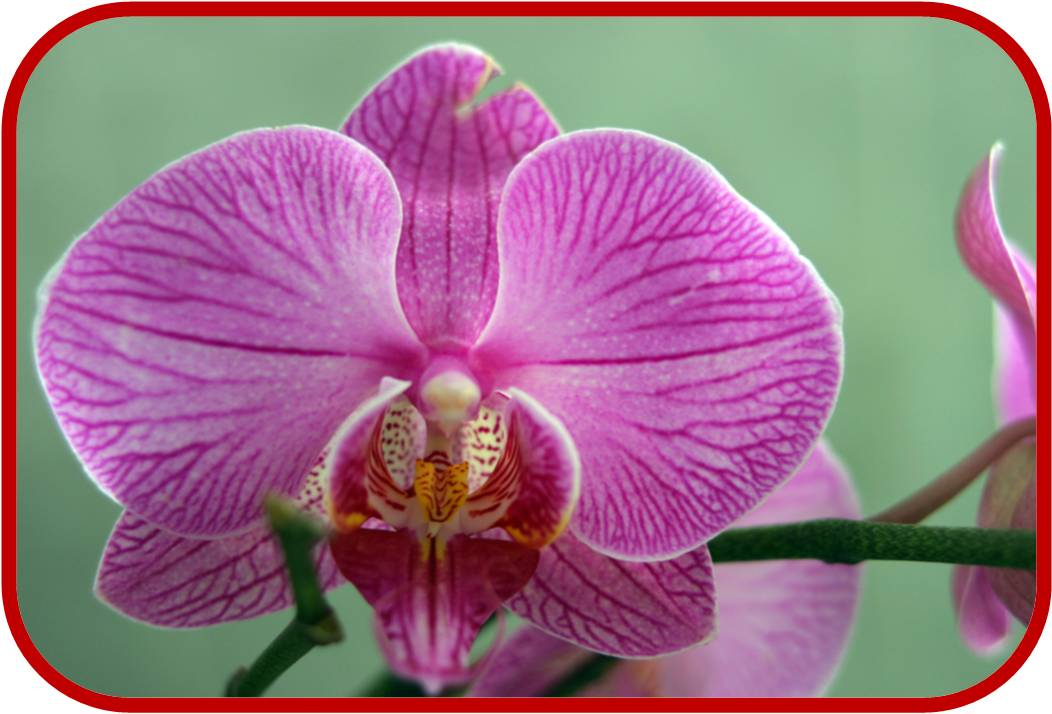 Orchidea consigli coltivazione e cura for Cura orchidee in vaso