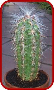 Oreocereus cielsianus 1