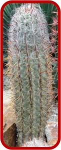 Oreocereus cielsianus 2