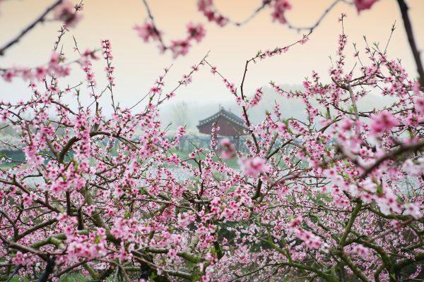 Cosa fiorisce ad aprile? Pesco